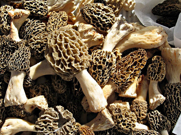 harvested morels.jpg