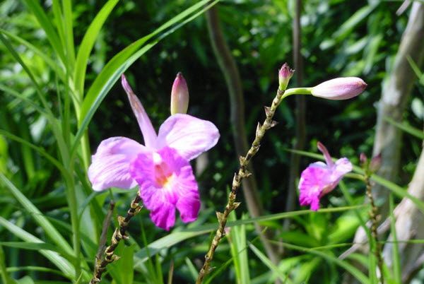 Arundina Graminifolia Singapour
