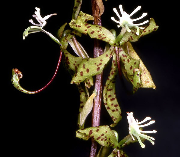 cycnoches egertonianum
