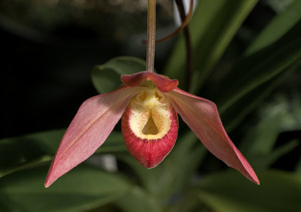 Phragmipedium Evening Glow Orchid