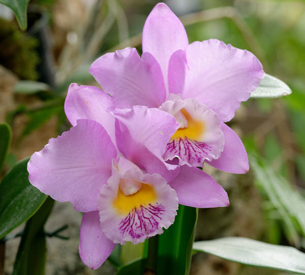 Cattleya Beaumesnil Parme