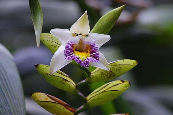 Sobralia Luerorum