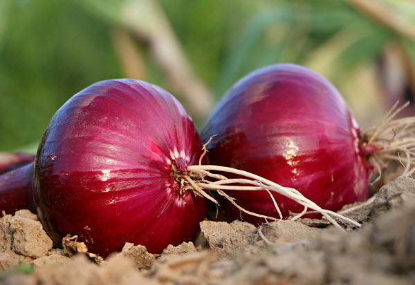 planting red onions.jpg