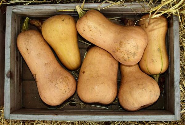 butternut squash harvest.jpg