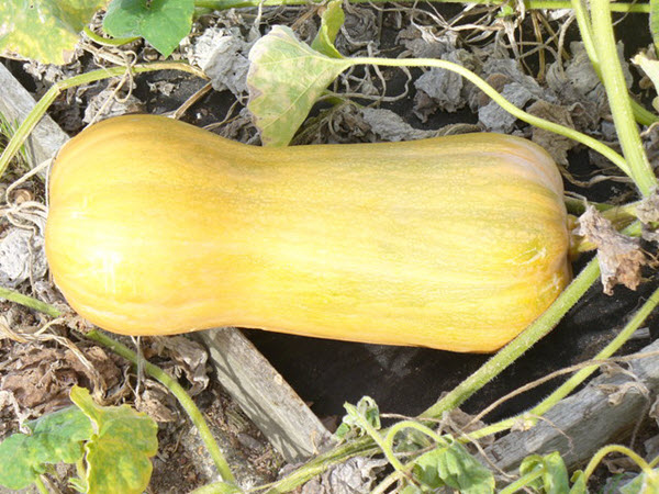 butternut squash growing.jpg
