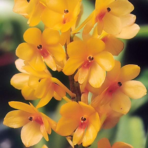 A_and_B_Larsen_orchids_-_Ascocentrum_miniatum_923-25x.jpg