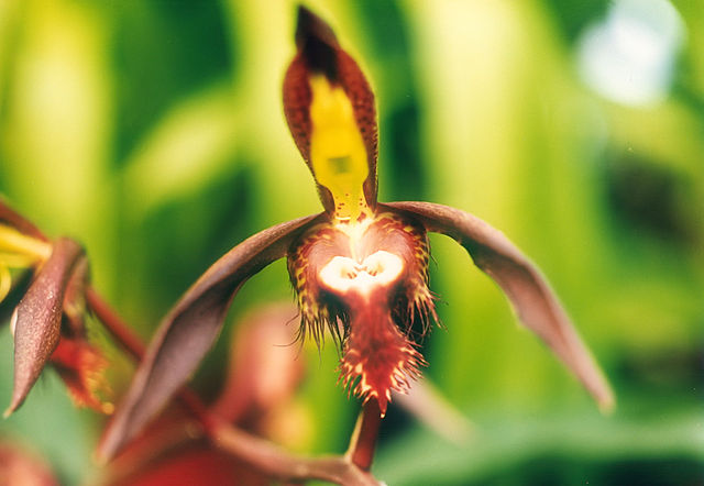 640px-A_and_B_Larsen_orchids_-_Catasetum_saccatum_516-1.jpg
