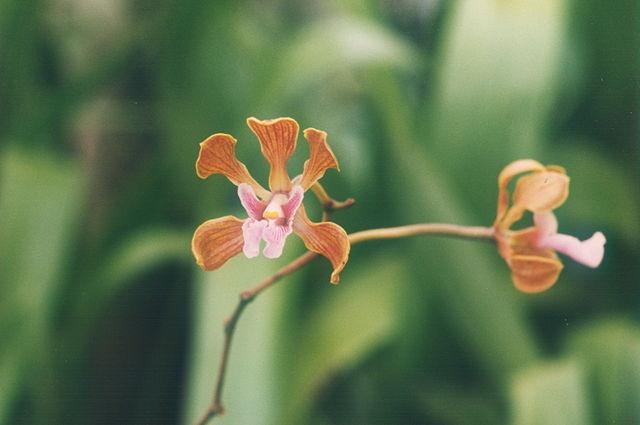 640px-A_and_B_Larsen_orchids_-_Encyclia_atropurpureum_439-13.jpg