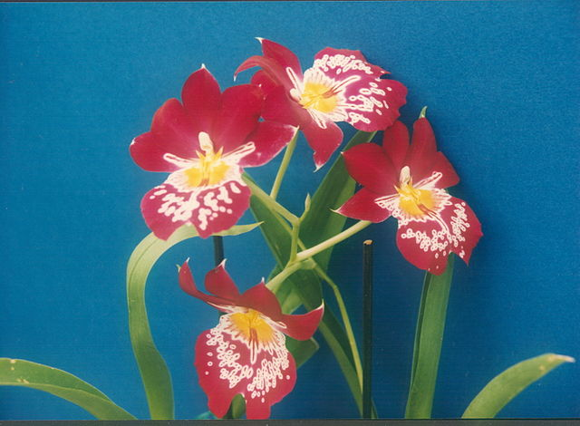 640px-A_and_B_Larsen_orchids_-_Miltonia_Red_Tide_221-22.jpg