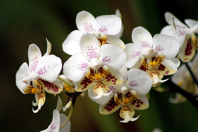 640px-Phalaenopsis_stuartiana_-_Flickr_003.jpg