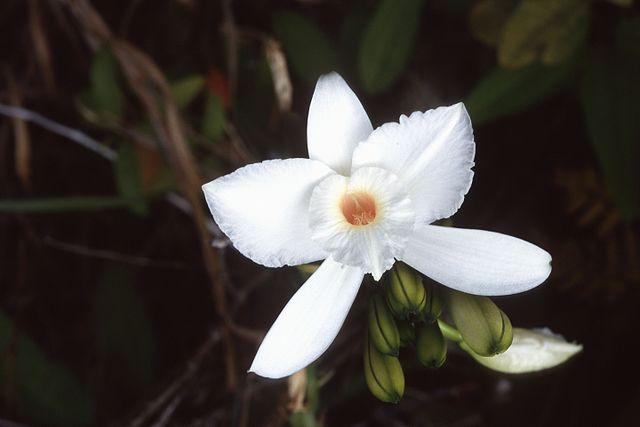 Vanilla_phalaenopsis.jpg