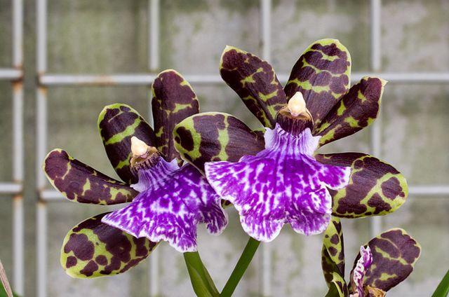 Zygopetalum_cultivar_(60550).jpg