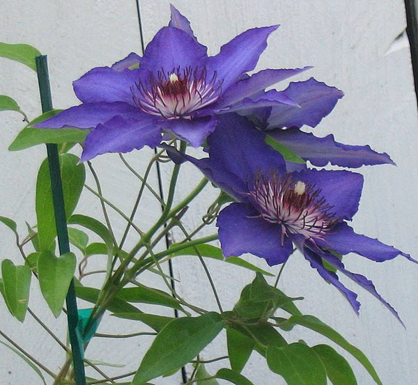 clematis planting.jpg