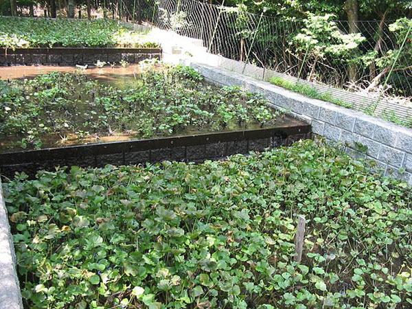 planting wasabi.JPG