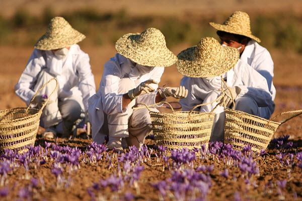 harvesting saffron.jpg