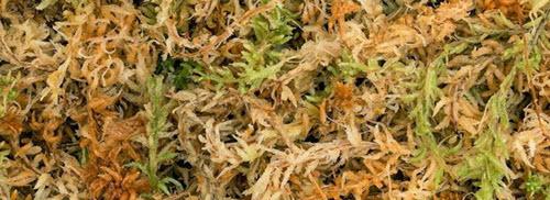 sphagnum moss.jpg