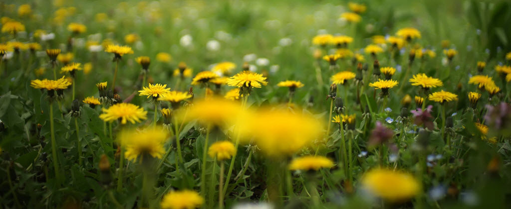Best Way To Get Rid Of Dandelions Permanently Without Using