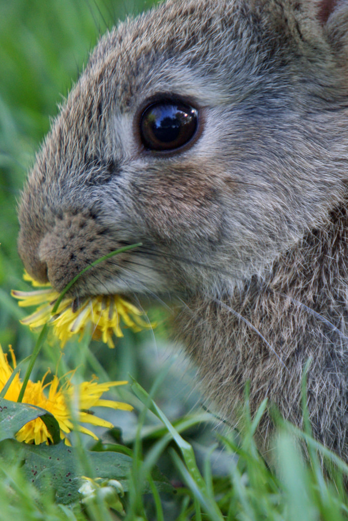 rabbit eating dandelion.jpg