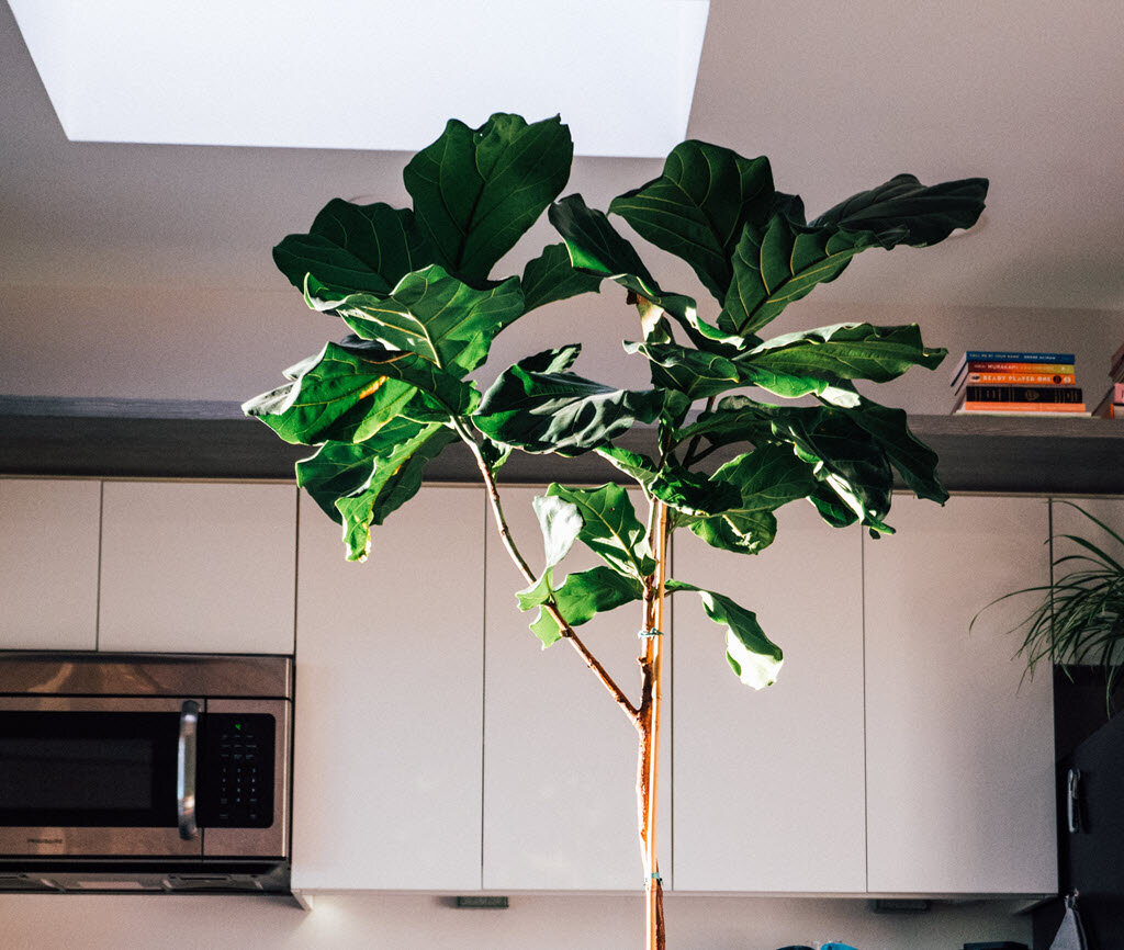 A Complete Guide To Saving Your Dying Fiddle Leaf Fig Tree