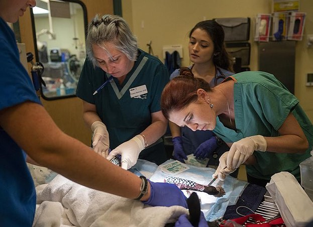 @ucdavisvetmed continues to lead the way in surgical innovation. Here they are treating pets rescued from the #California #CampFire with healing fish skins. Read more about this amazing story - link in bio. (📸: @ucdavisphoto | UC Davis). . . . #ucdavis #science #engineering #innovation #pets #animals #care veterinaryhospital #vet