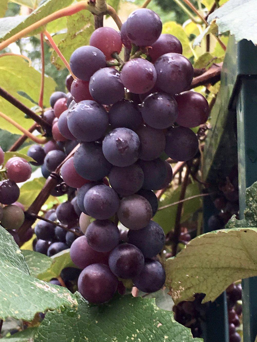 garden grapes on the vine.jpg