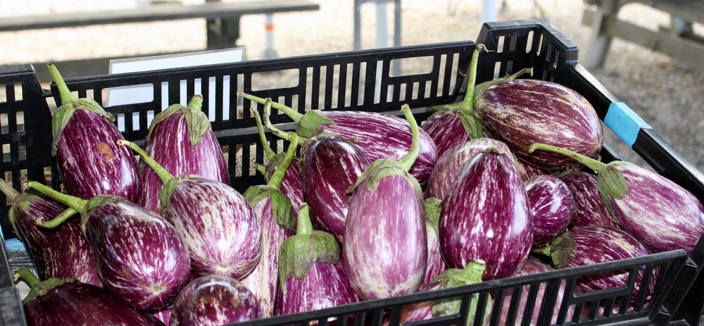 Eggplants at Sang Lee Farms