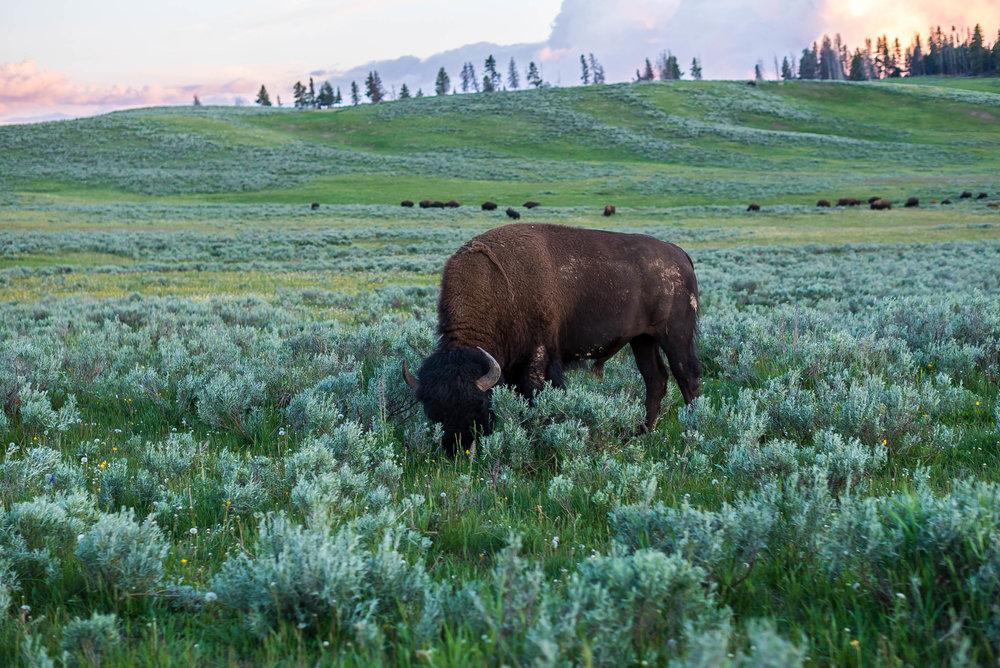 Hayden Valley in Yellowstone National Park