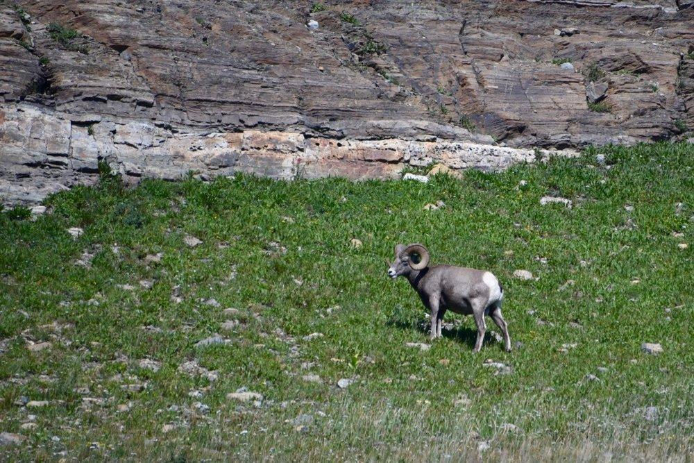 Bighorn sheep!!!