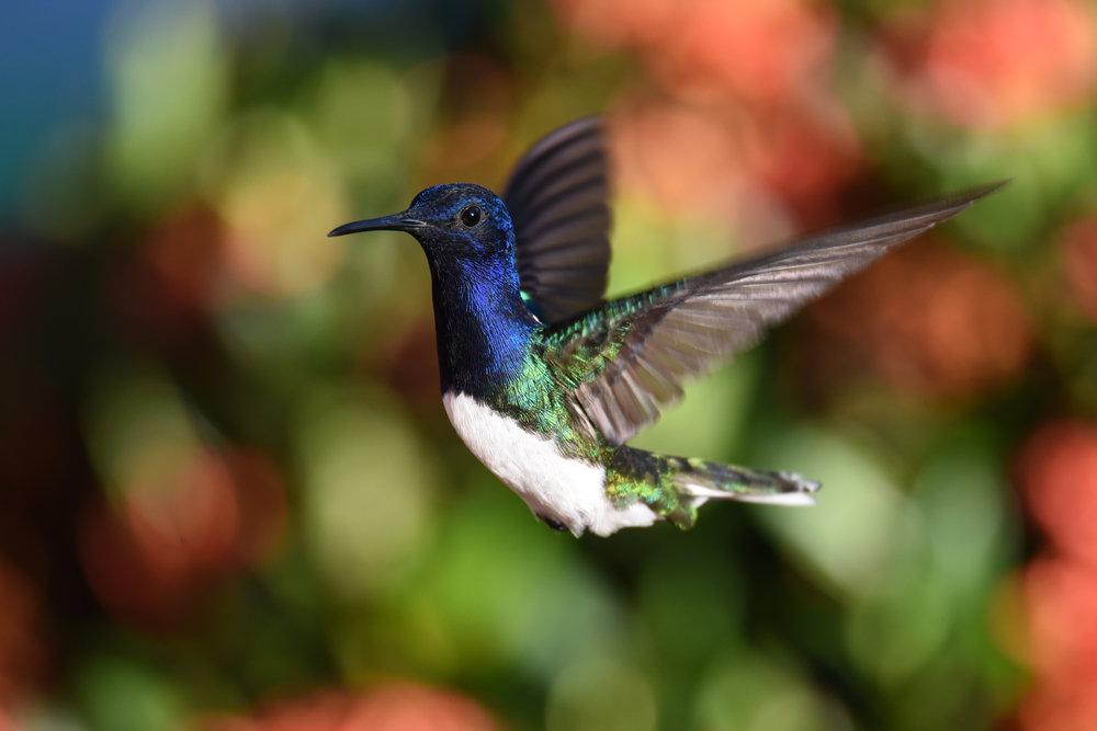 Jacobin hummingbird, Ojochal, Costa Rica