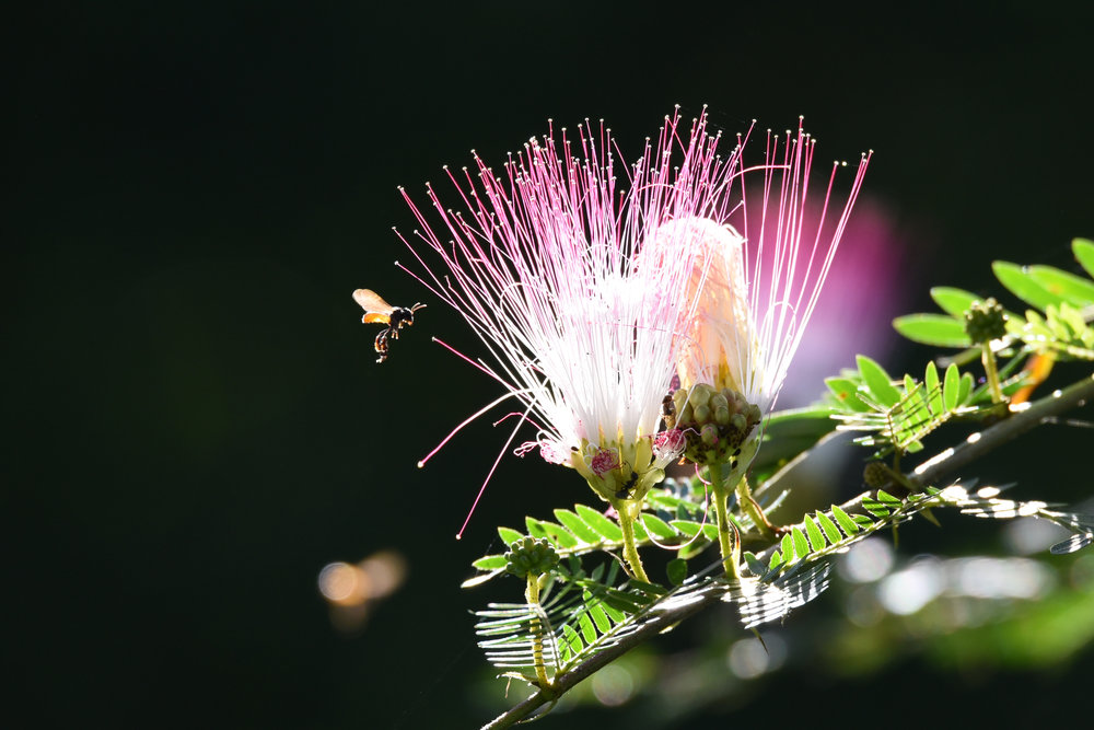 Bees that look like faeries in Costa Rica
