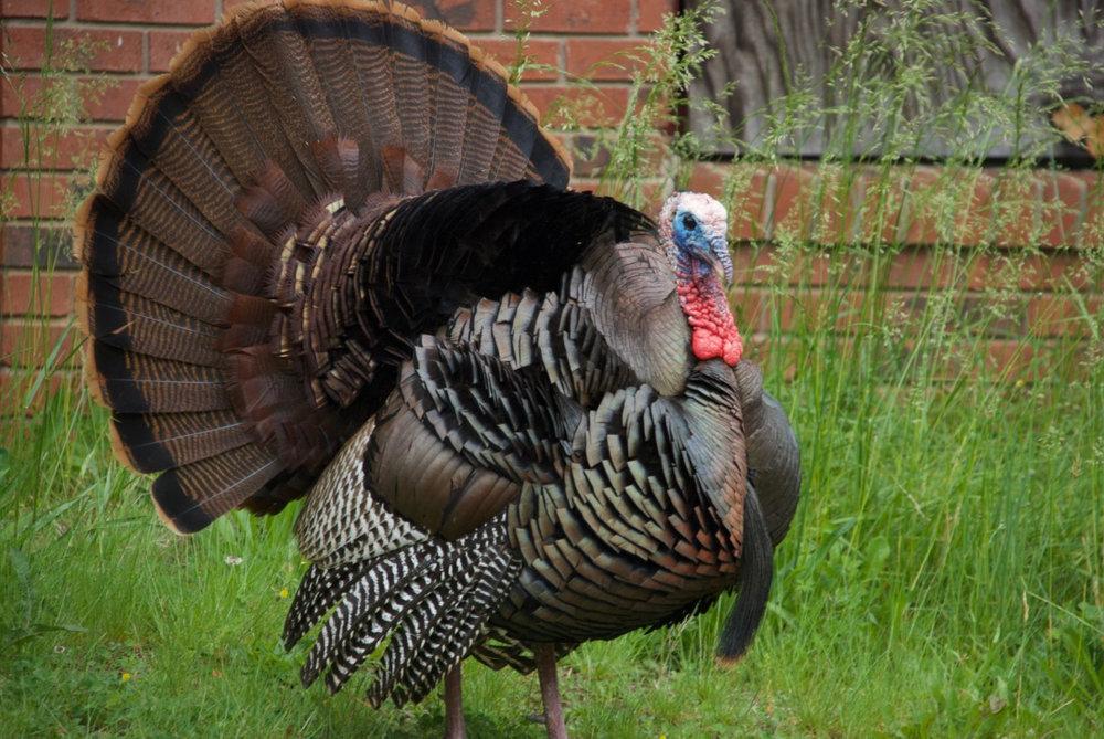 Huge tom turkey near our house in Asheville - taken by Melissa