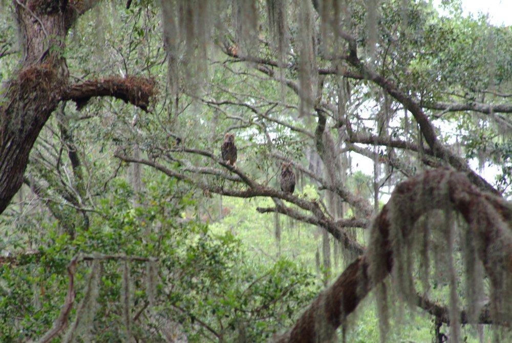 Owls on Sapelo Island by Melissa