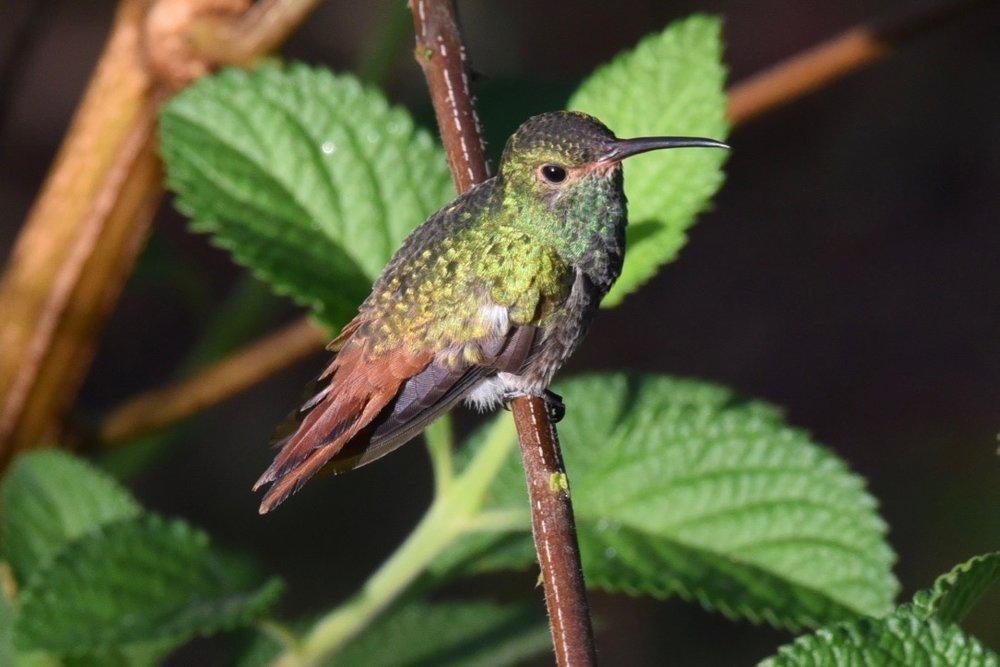 Rufus tailed hummingbird