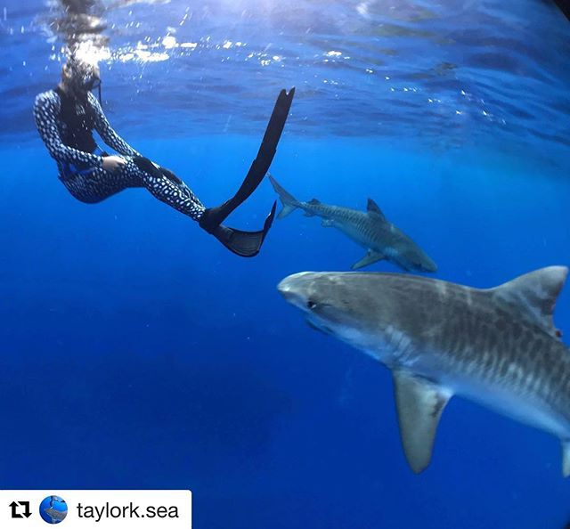 #Repost from Founder @taylork.sea with ⚠️URGENT⚠️ news on how you can help save sharks! Please go click the link in @jim_abernethy bio to sign! It will only take about 20sec! ・・・ If you haven't already signed the petition I shared in my story PLEASE PLEASE PLEASE go check out @jim_abernethy bio and click the link to sign! Sharks need your help! Florida is currently one of the only states still allowing the import and export of shark fins in the US, making it a hub for the activity! By signing, you are showing your support to end the shark fin trade in FL. Being from FL I have seen first hand how sharks are treated in this state and seen their fins and tissues available on market. PLEASE SIGN! 🦈 This could make a huge difference in the demand for shark fins, but also allow the US to set an example that shark finning is unacceptable.