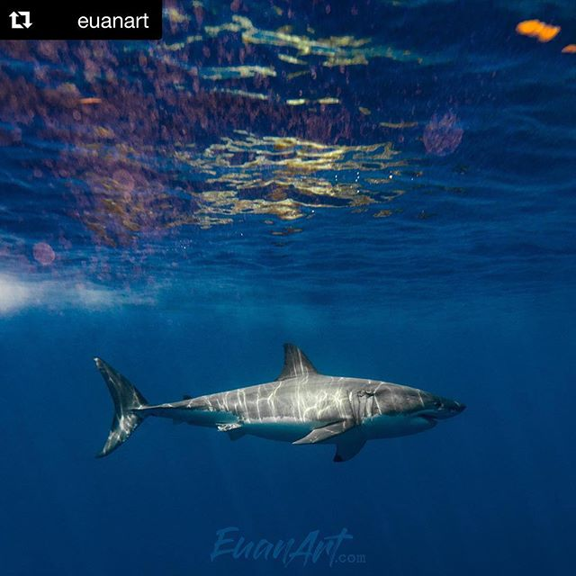 #Repost @euanart with an epic great white pic! Scientists have recently completed fully mapping the genome of the great white shark. With this discovery will come new advantages that will further advance shark research 🦈 To support shark research shop online! ・・・ Contrast . . BE A SHARK. ---------- #greatwhite #greatwhites #greatwhiteshark#greatwhitesharks #whiteshark #shark#sharks #ilovesharks #welovesharks#sharklover #sharklovers #sharky#sharkdaily #sharknation #jawsome #jaws#megalodon #theoutbound #meg #instagoodmyphoto#ocean #natgeo #wild #apexpredator#sharkweek #worldtravelbook #nikon #aquatech . . ------------------- @solmarv @whitesharksdaily @sharkaddicts2  @ikelite @nikonusa @natgeo @aquatech_imagingsolutions @nikonusa @shockmansion @PASSIONPASSPORT @DISCOVEREARTH @INSTAGRAM @discoversharks