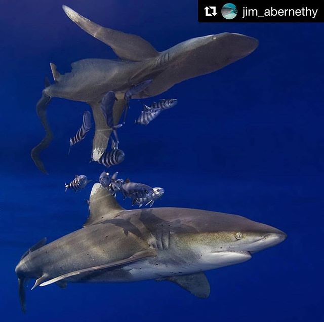 """#Repost @jim_abernethy with important information on how you can help #savesharks 🦈 ・・・ Take Action! Photo by: Jim Abernethy  The beautiful Oceanic White Tip Shark was once """"the most prolific animal on the Planet over 100 lbs in weight"""" according to the scientists aboard Cousteau's ship after it circled the globe! Today less than 1% of that population exists! We must put an end to this needless slaughter! Sharks are essential to keeping our oceans healthy and in balance! The oceans are the heart of our planet! Over 50% of the air we breath and 70% of the protein we eat comes from the ocean. Without our the ocean all life on this planet will die.  Please be the change the world needs! Visit the link in my bio to show your support for a FIN FREE FLORIDA and help remove United States from the list, as the 7th worst shark killing nations! @jim_abernethy @wildlifevoiceinc @sealegacy @sharkallies #saveoceans #savesharks #bethevoice #finbannow #bethechangetheworldneeds #nofinfl #finsareforsharks #reflection #oceanicwhitetip #whitetip"""