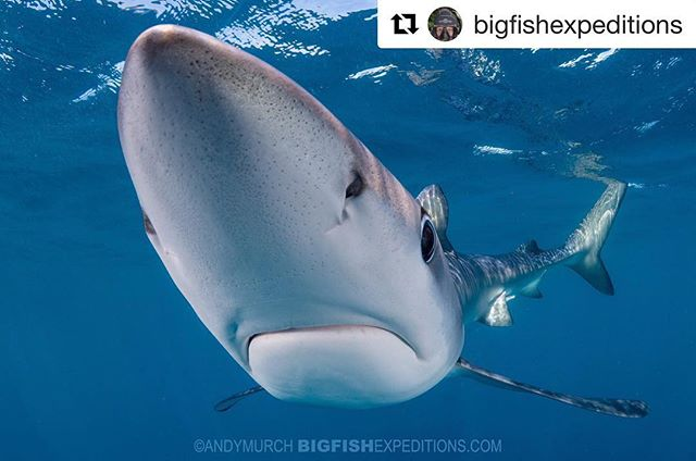 #Repost @bigfishexpeditions with a curious Blue Shark 🦈 ・・・ A nosy blue shark from our Blues and Makos trip. These guys are inquisitive but rarely aggressive (unlike their snaggle-toothed cousins! #bluedog #blueshark #bluesandmakos #makotrip #mexicansharks #sharkdiving #snorkelingwithsharks #underwaterphotography #uwphotography #sharksofinstagram #shark #sharks #prionaceglauca #mexico #baja #sharksofmexico #sharktrip #bucketlisttrip