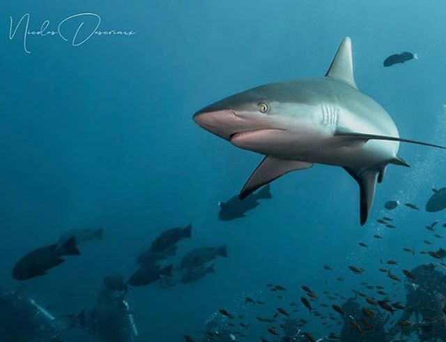 #Repost @maldivianshots with an epic shark cruising over the reef