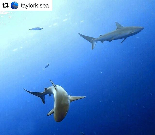 """#Repost from founder @taylork.sea with important information on how you can #helpsavesharks ・・・ HELP SUPPORT SHARKS!!! Submit testimony at WTLTestimony@capitol.hawaii.gov with subject line """"SUPPORT for HB808"""" 🦈 You can simply write """"I support bill HB808"""" or a longer explanation of why sharks are vital to our oceans! This bill will ban the purposeful killing of sharks and rays in Hawaiian waters ‼️"""