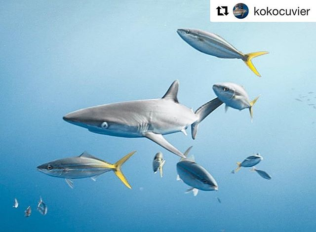 #Repost @kokocuvier baby shark doo doo doo doo doo 🦈 Help support shark research! SALE all this month with code MADNESS online ・・・ That's a baby silky shark the size of baitfish hanging around an offshore FAD (fish aggregating device). It's always amazing to see fresh pups and know that soon they'll become powerful apex predators but for now they just gotta doo do do do dooooo ✨