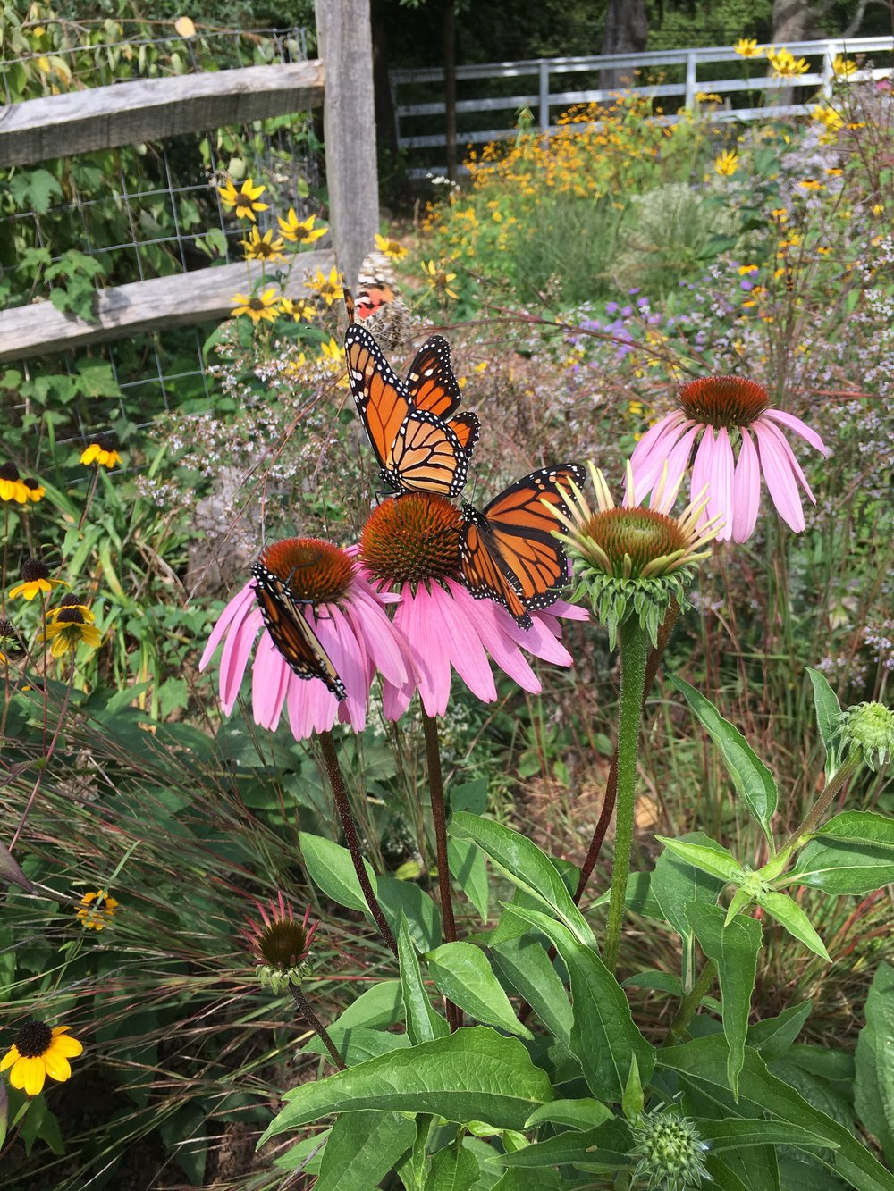 3 on coneflower.JPG