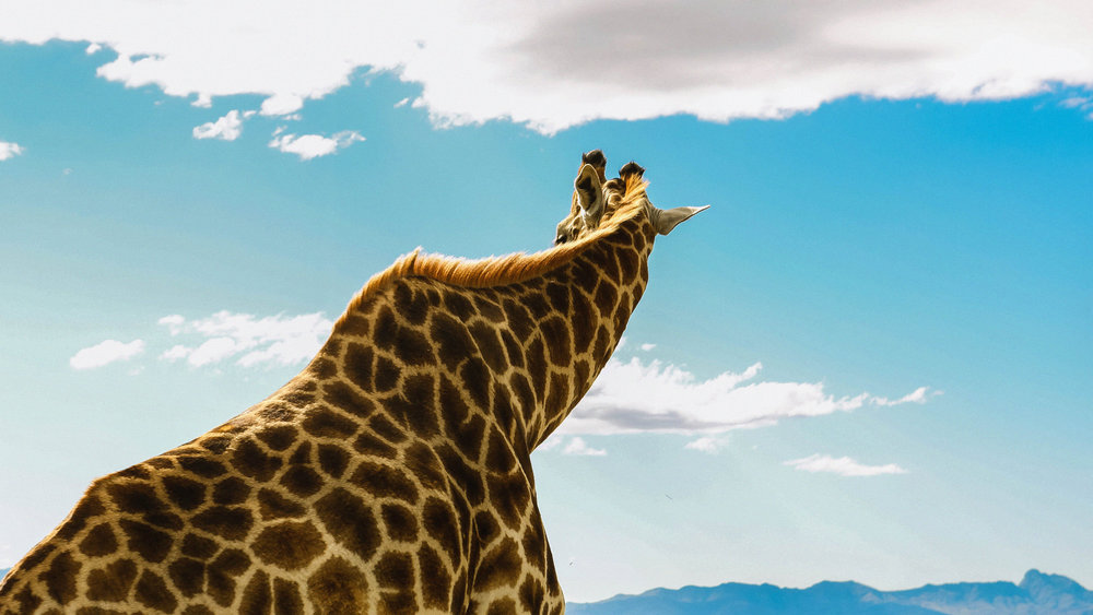 giraffe_2_SA.jpg
