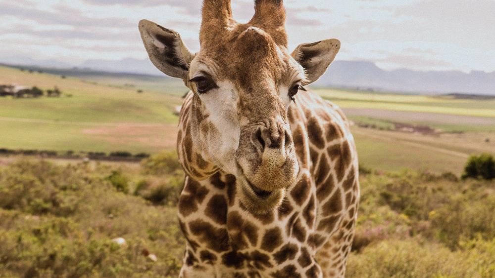 Giraffe_SA_1.jpg