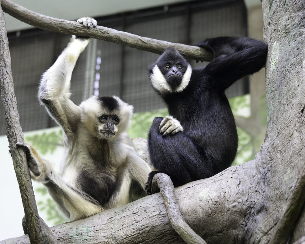 Sexual dichromatism in white-cheeked gibbons. Oregon Zoo