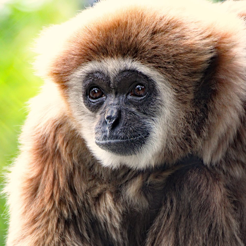 Lar Gibbon -