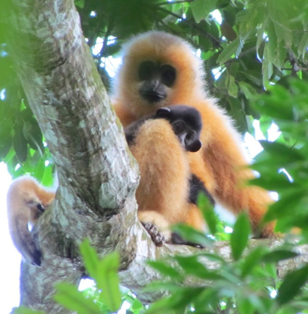 Fewer than 30 Hainan crested gibbons ( Nomascus hainanus ) remain in the wild. This species is considered the most endangered primate in the world.