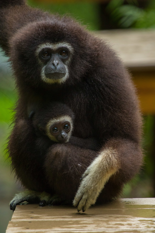 Lar gibbon, Santa Fe Teaching Zoo