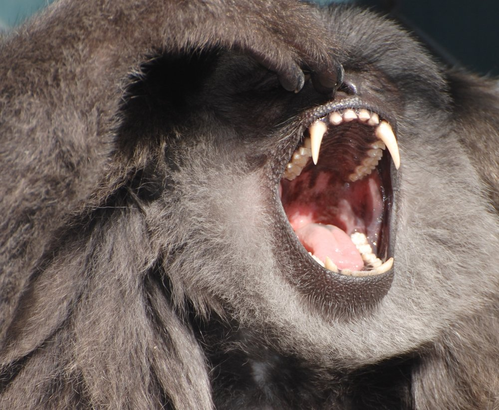 Large canines in both sexes, Gibbon Conservation Center