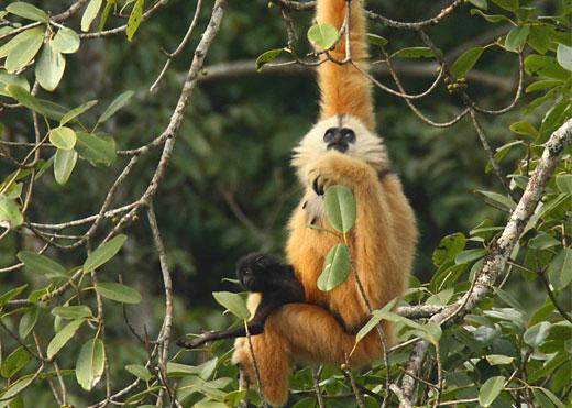 Cao Vit gibbon