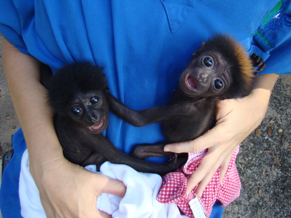 Hand-rearing twin siamangs after rejection by mother, Disney's Animal Kingdom